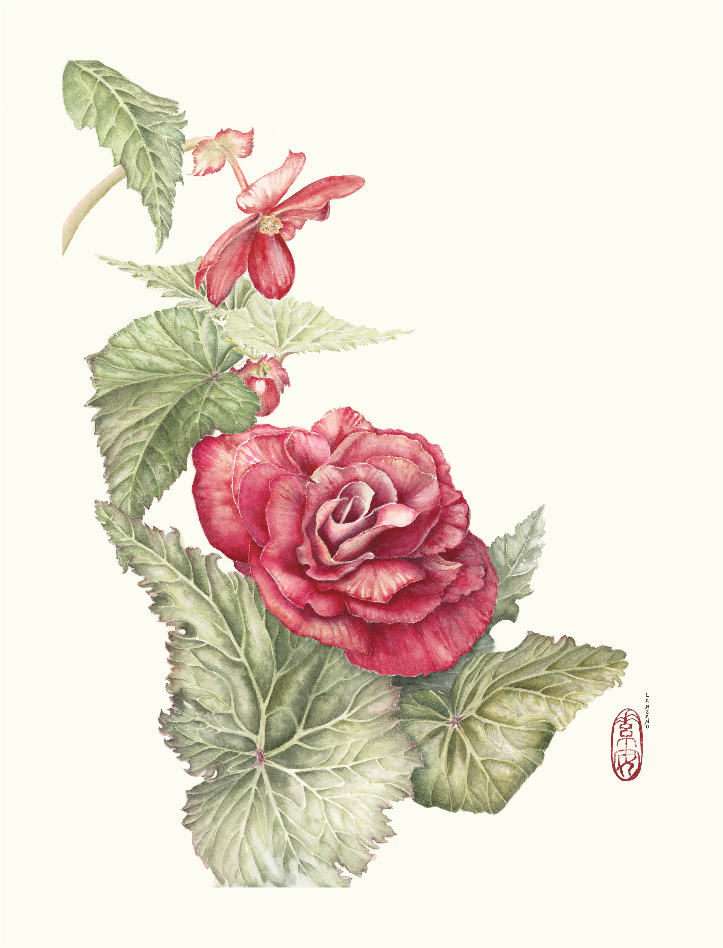 """Pas de Deux (Tuberous Begonia: male and female flowers)    Watercolor on 140 lb. hot pressed Arches,20"""" x 15"""""""