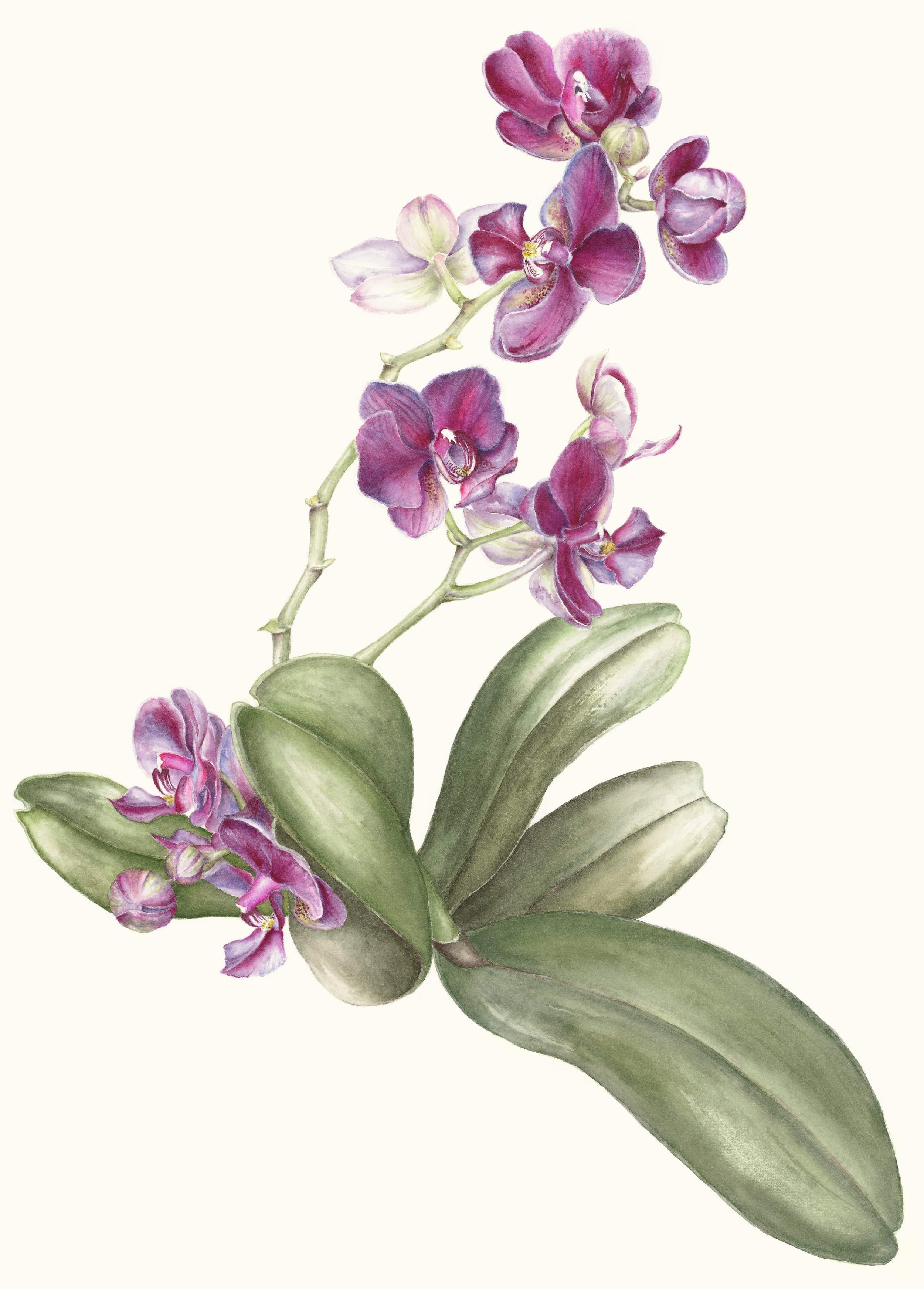 """Magenta Phalaenopsis  Watercolor on 140-lb hot-pressed Arches 17"""" x 13"""""""