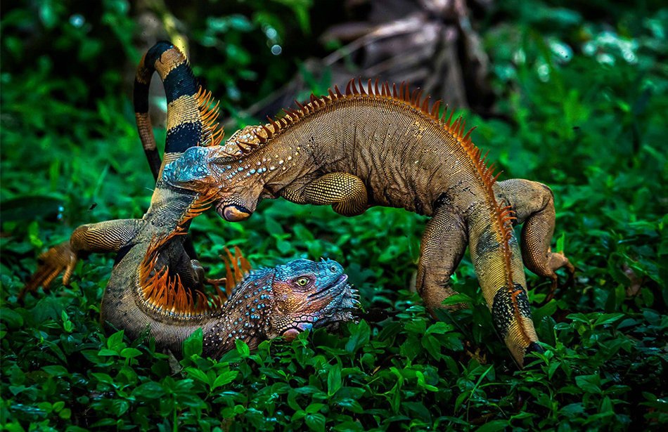 Two male green iguanas, in full breeding colors, locked in a violent battle. Photography by  Gergely Bíró