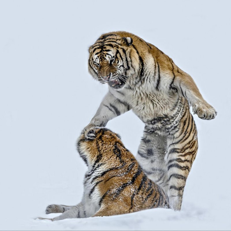 Battling tigers photographed by  Paul Keates
