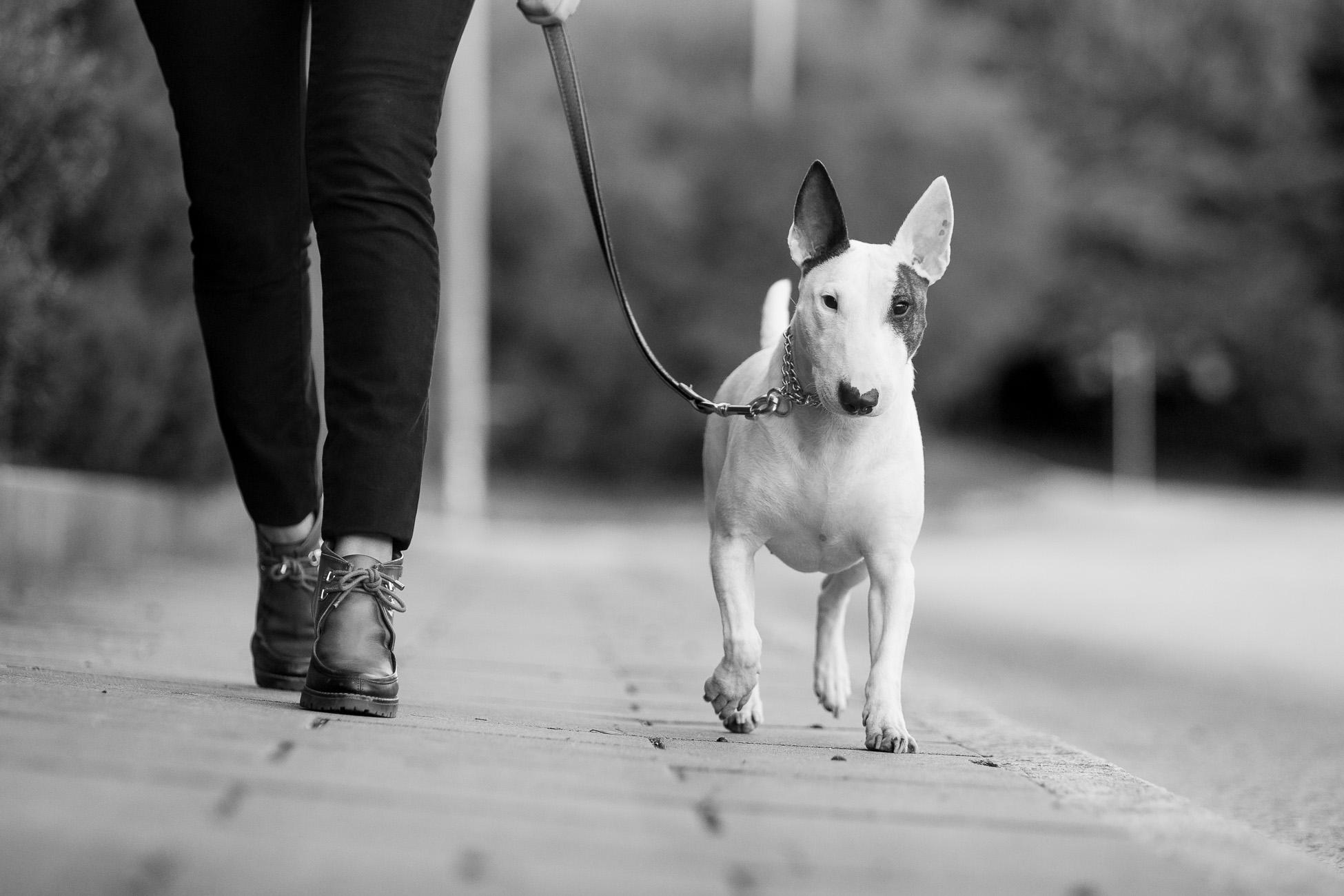 Gonçalo Barriga Lifestyle Photographer - Bull Terrier