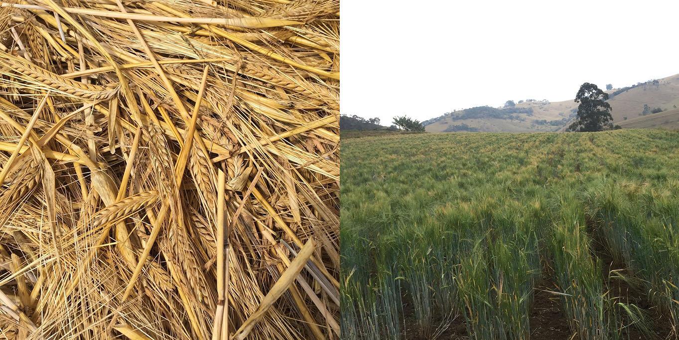Cevada é cultivada na Fazenda Santa Terezinha, no sul de Minas Gerais (Fotos: Divulgação)