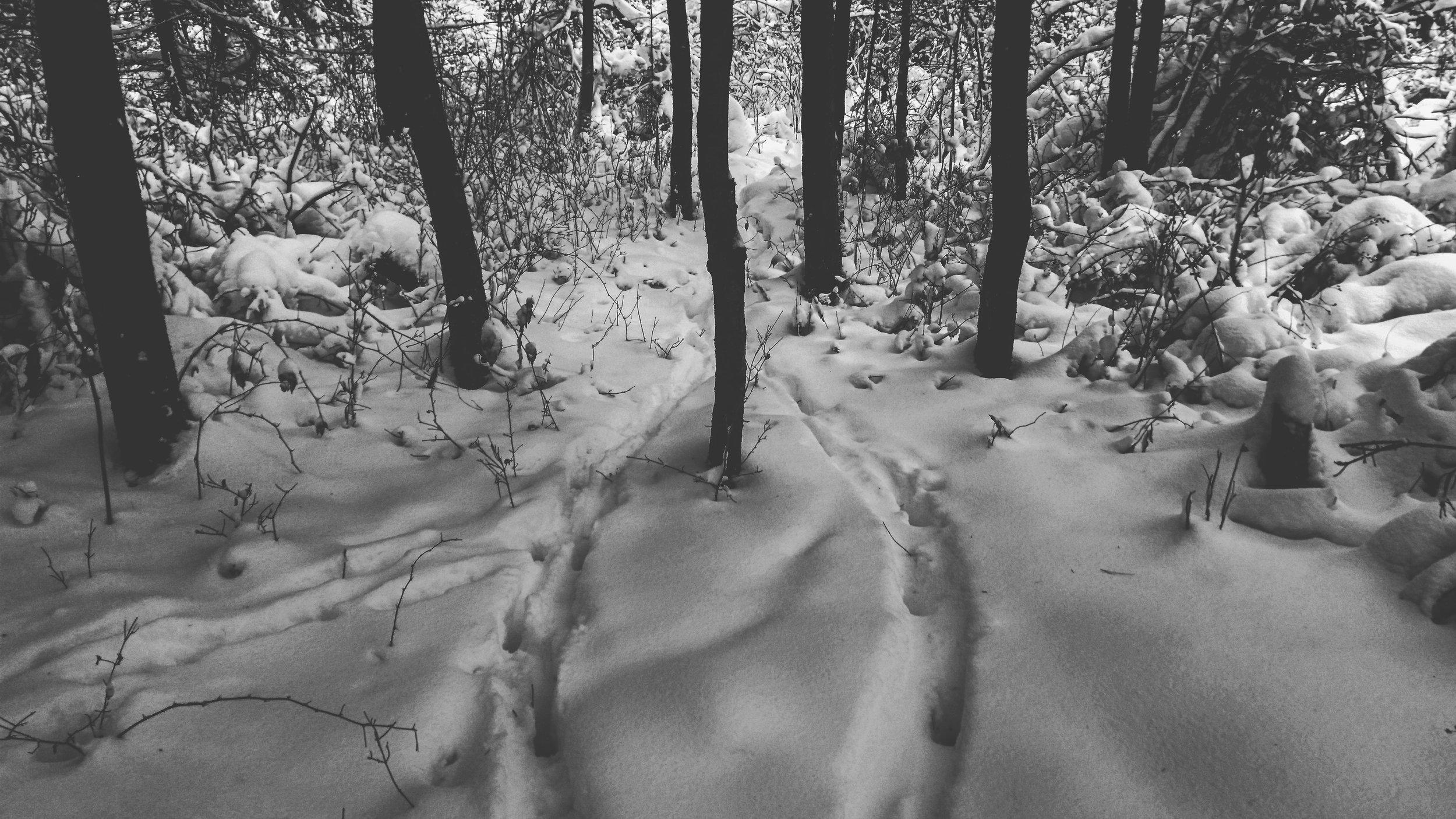 Deer tracks on fresh snow.