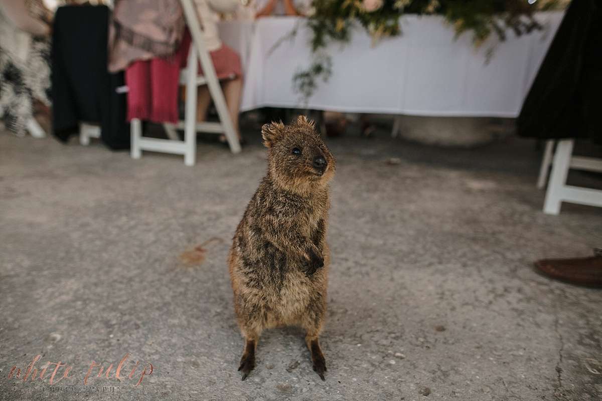 quokka at the basin