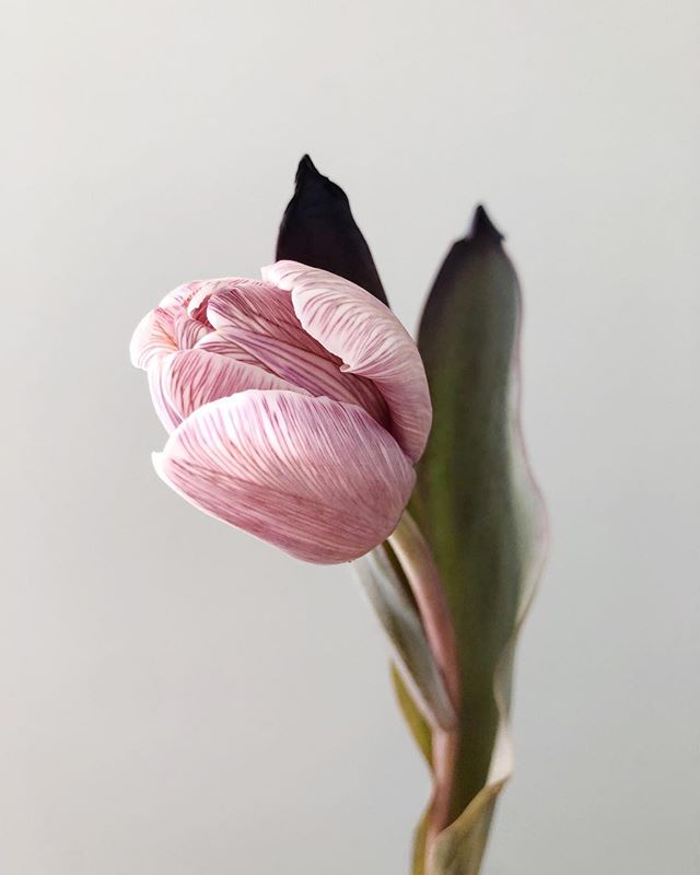 the brownie tulip: aka the flower that broke the internet, aka the most expensive tulip we've ever bought.