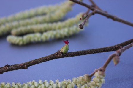 Spring for me - a hazel flower.jpg