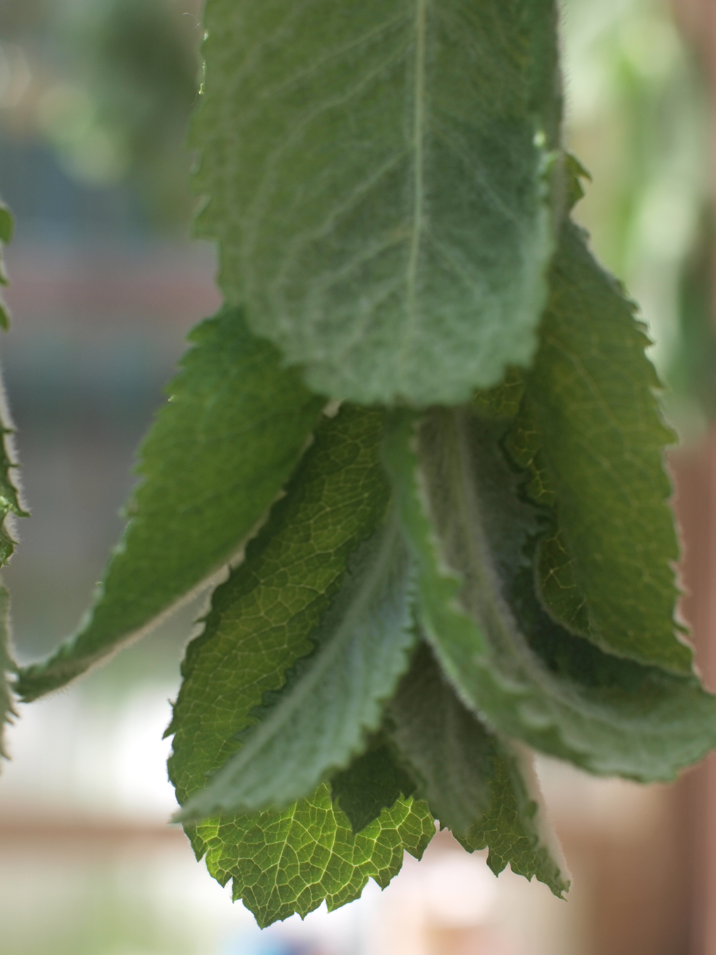 More mint hanging to dry