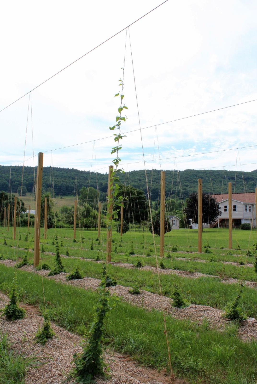 First year hop vine