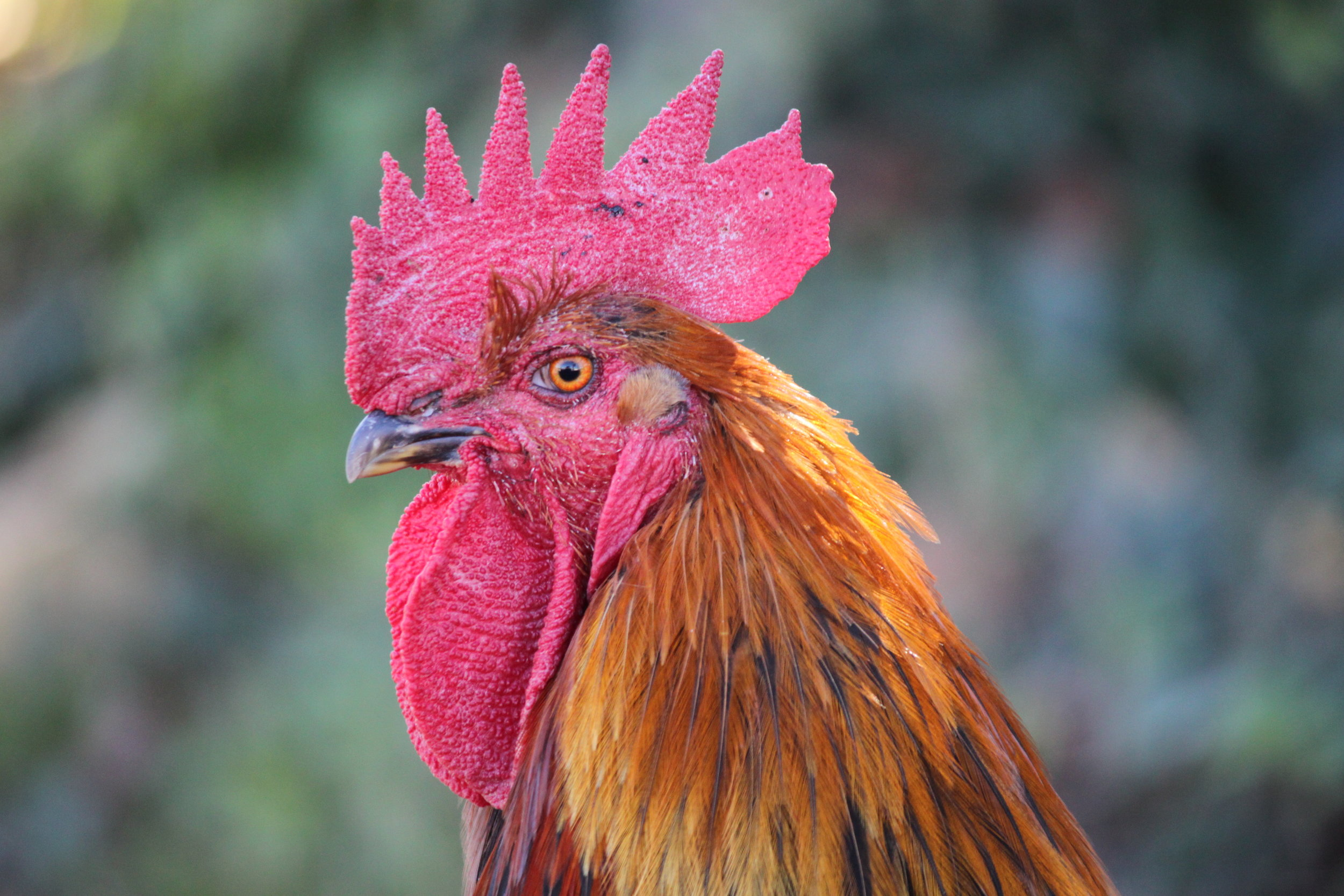 I am in dedication to handsome roosters.