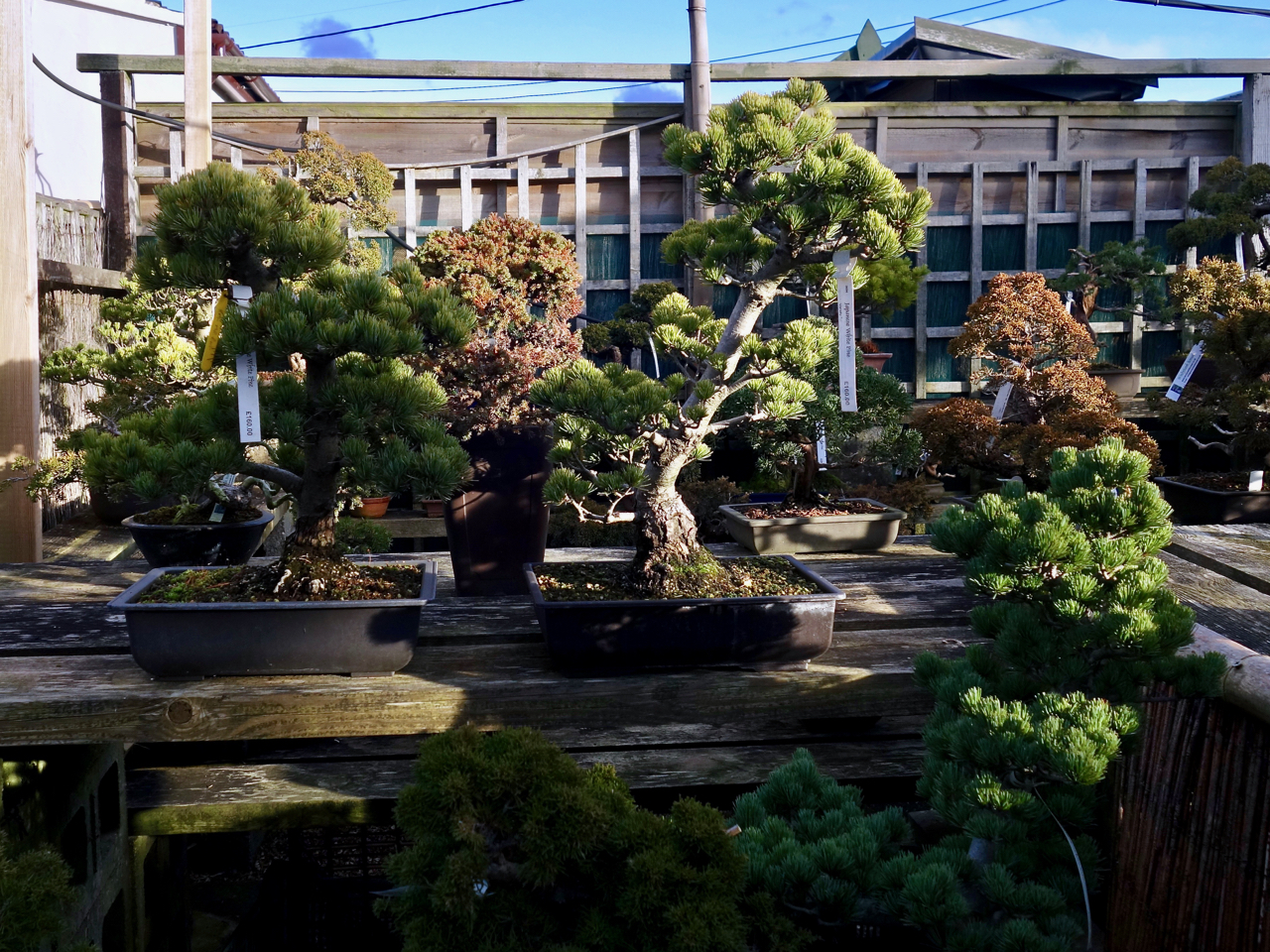 Windybank Bonsai