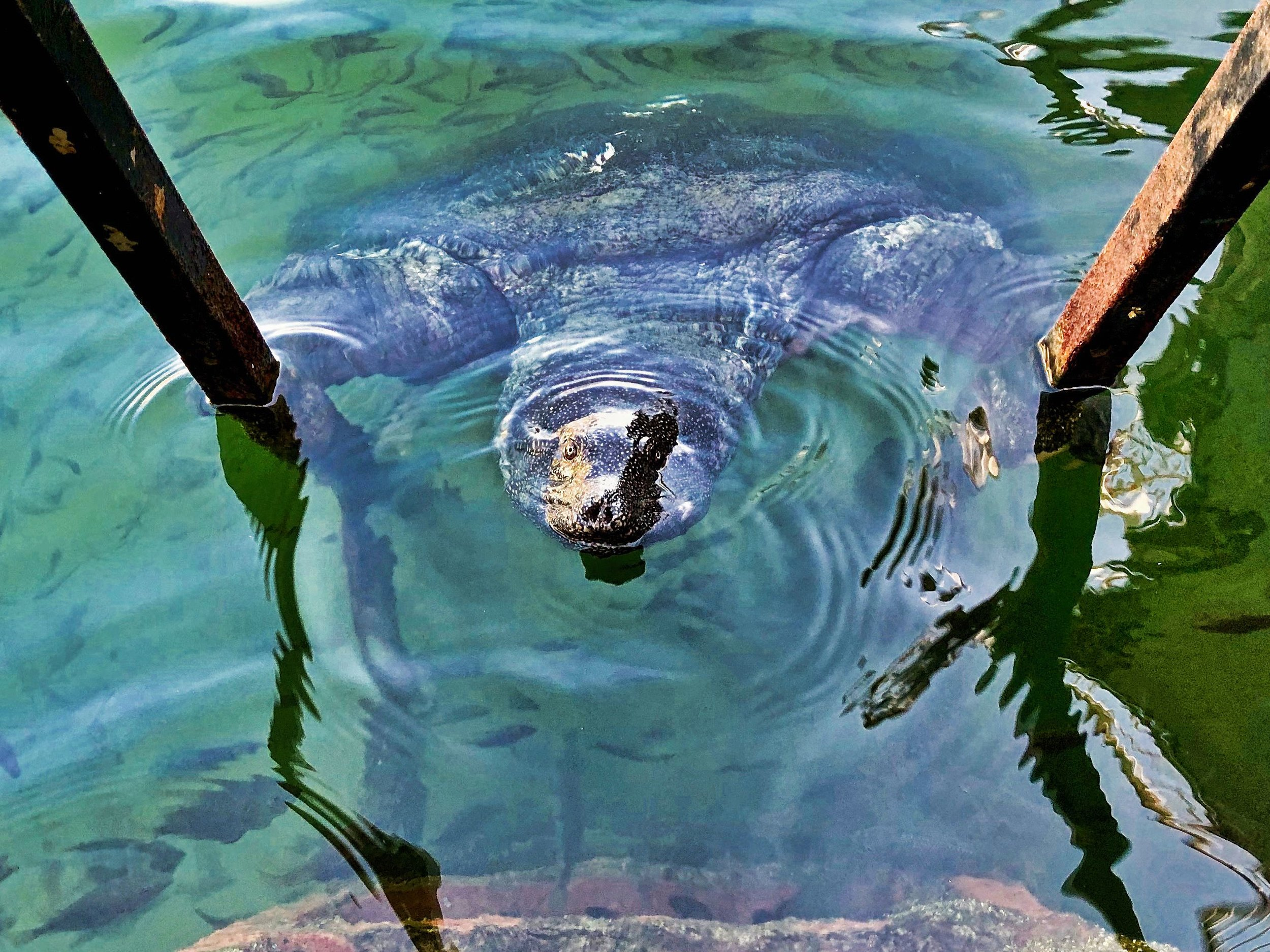 Nile Turtle in the Dalyan River #3