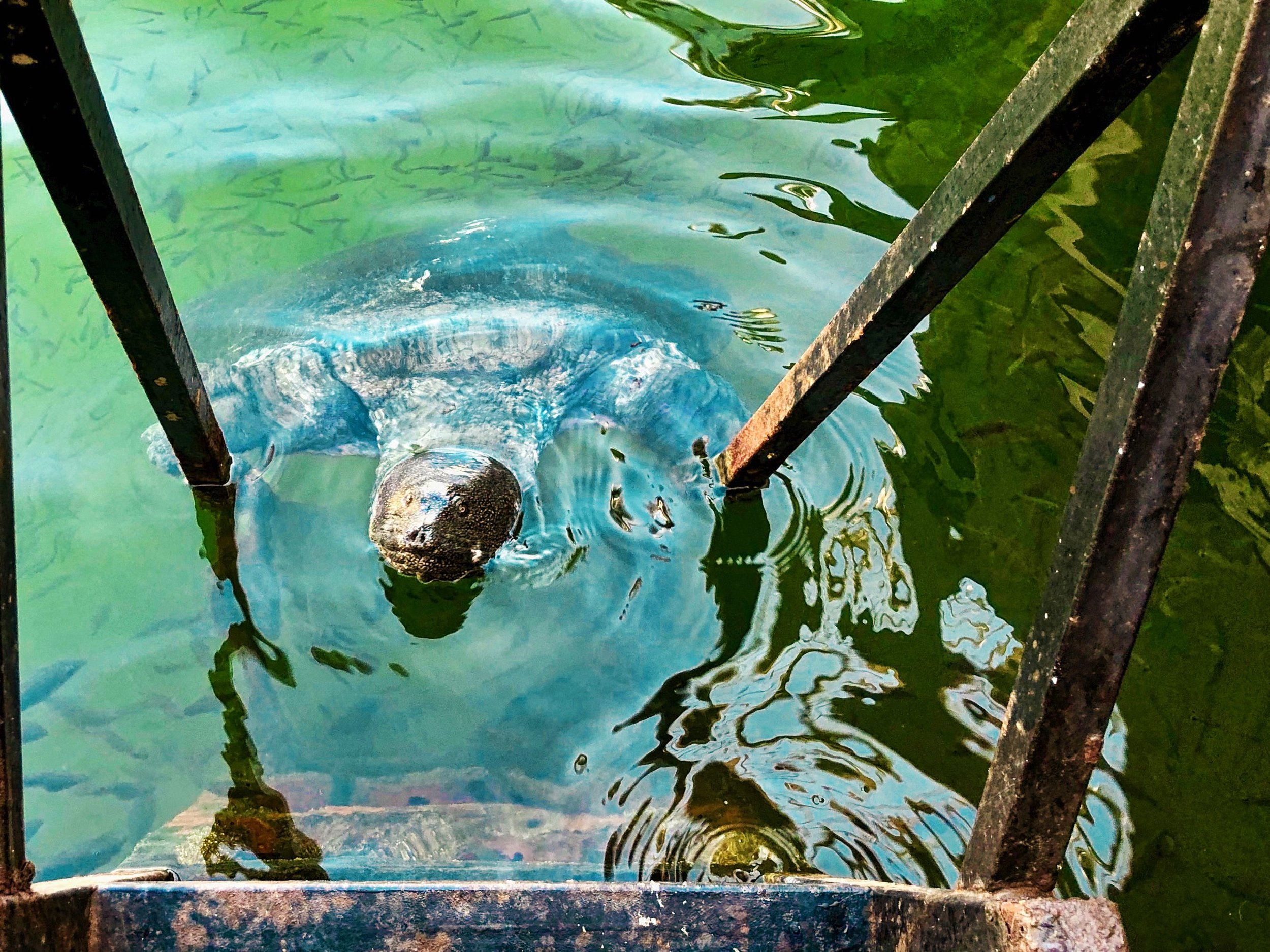 Nile Turtle in the Dalyan River #1
