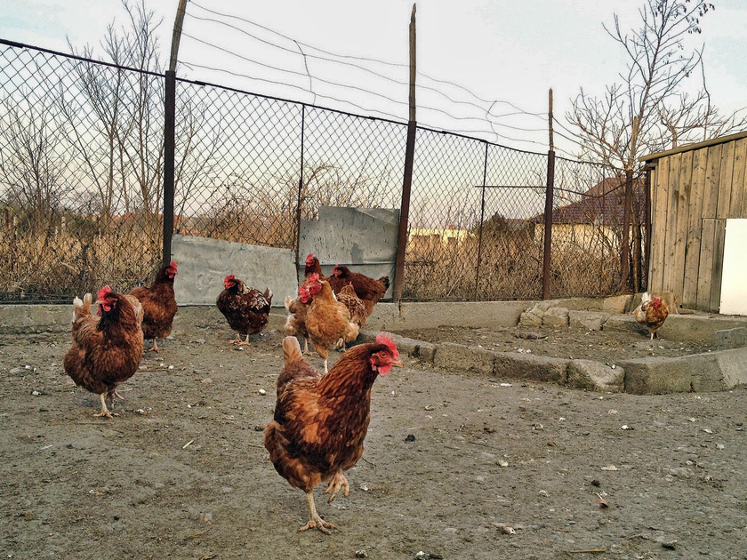 Chickens.jpeg