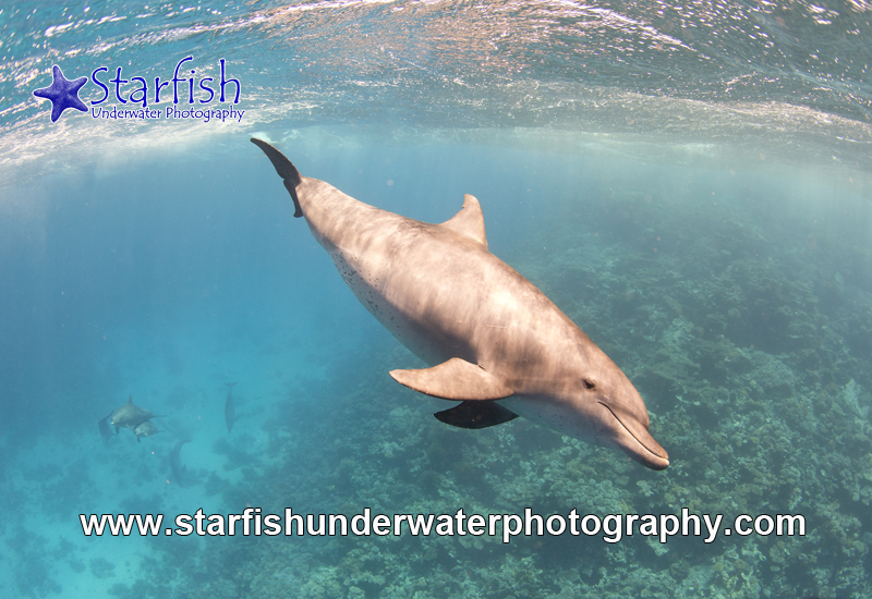 A Wild Dolphin and her pod of 8, swam below us near Tiles Wreck, Abu Nuhas.