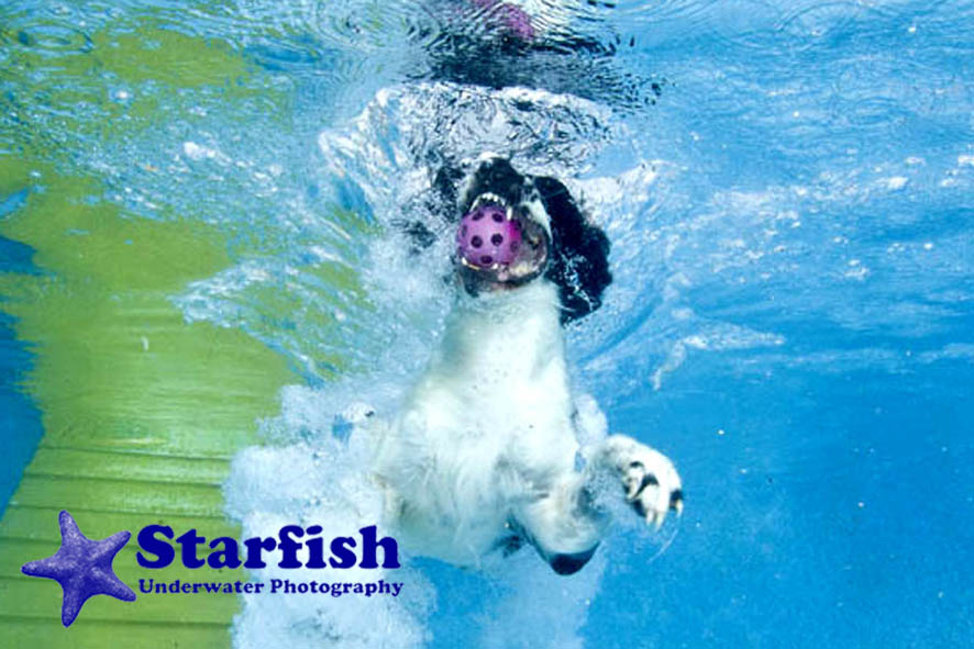 NWS-LRY-DashnSplashDogs50Dash 'N' Splash at Kent Showground, Detling. Dogs run along a ramp and jump into the pool, chasing after their ball.Stanley jumps into the pool.