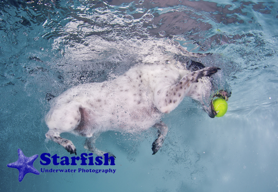 Underwater Dogs:Chip dives under for the ball at an underwater dog shoot.Photo by Lucy Ray/Starfish Underwater Photography