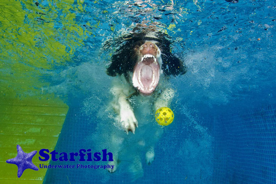 NWS-LRY-DashnSplashDogs27Dash 'N' Splash at Kent Showground, Detling. Dogs run along a ramp and jump into the pool, chasing after their ball.Mooky retrieves his ball from the bottom of the pool.