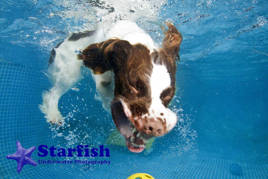 NWS-LRY-DashnSplashDogs25Dash 'N' Splash at Kent Showground, Detling. Dogs run along a ramp and jump into the pool, chasing after their ball.Mooky retrieves his ball from the bottom of the pool.