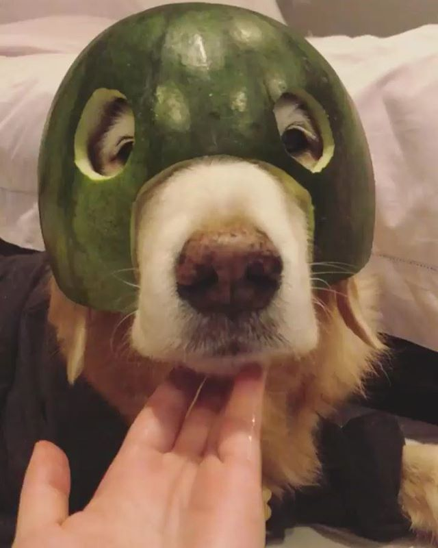 Missing my lil' watermelon head 😍 #11yopuppy . . . . . Inspired by @labradicious, ↬ @givelabslove.  #goldenretrievers #goldenretrieversofig #goldenretrieversofinstagram #goldenretrieverlife #goldenretriever