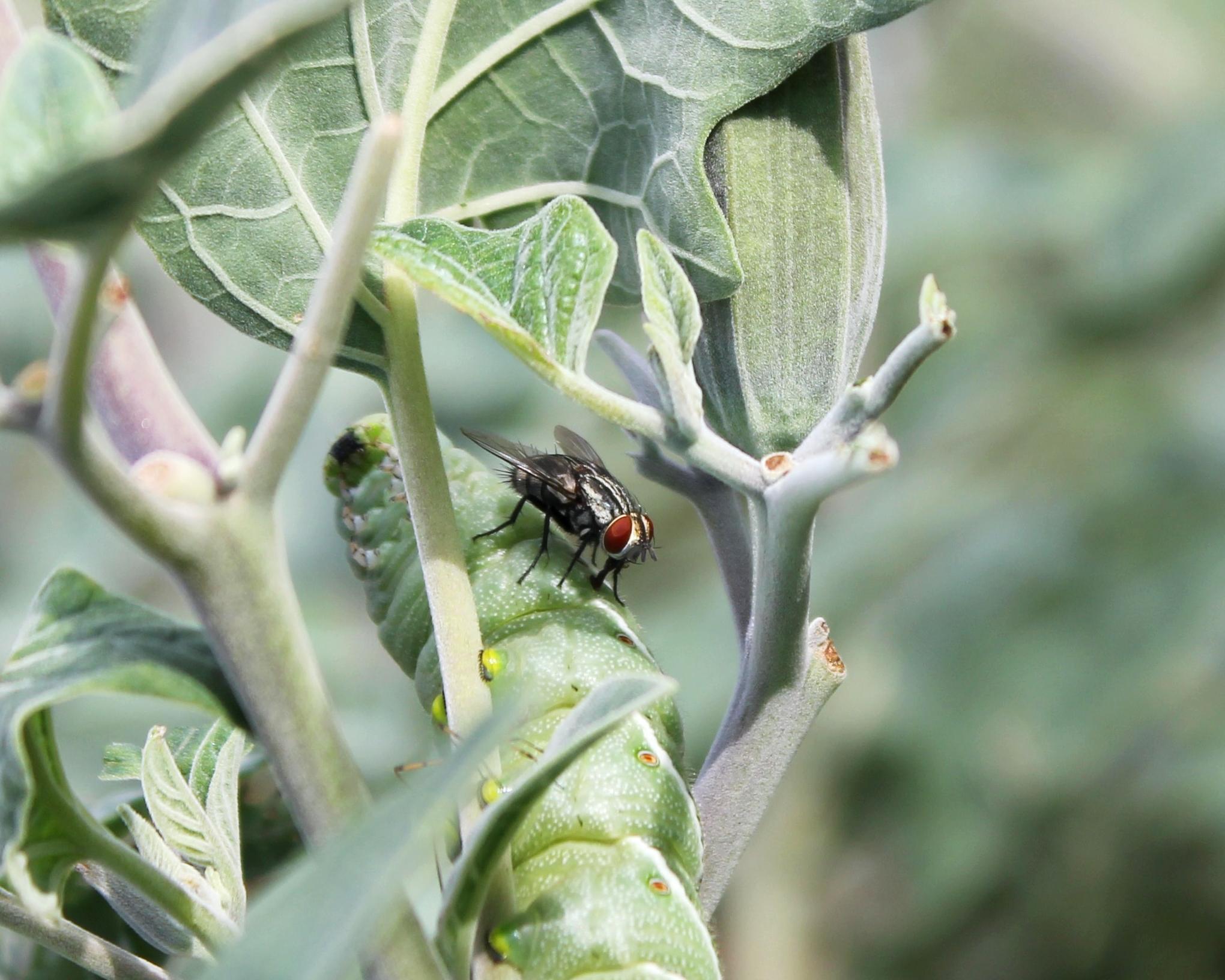 A female  Drino rhoeo  parasitoid assessing a  Manduca sexta  caterpillar host.