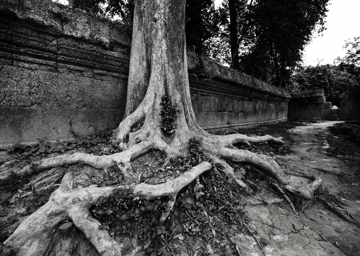 Two species predominate, the Silk-Cotton tree and the smaller Strangler Fig. With help of birds and their droppings they, have taken over many of the temples with a dramatic and eerie effect.