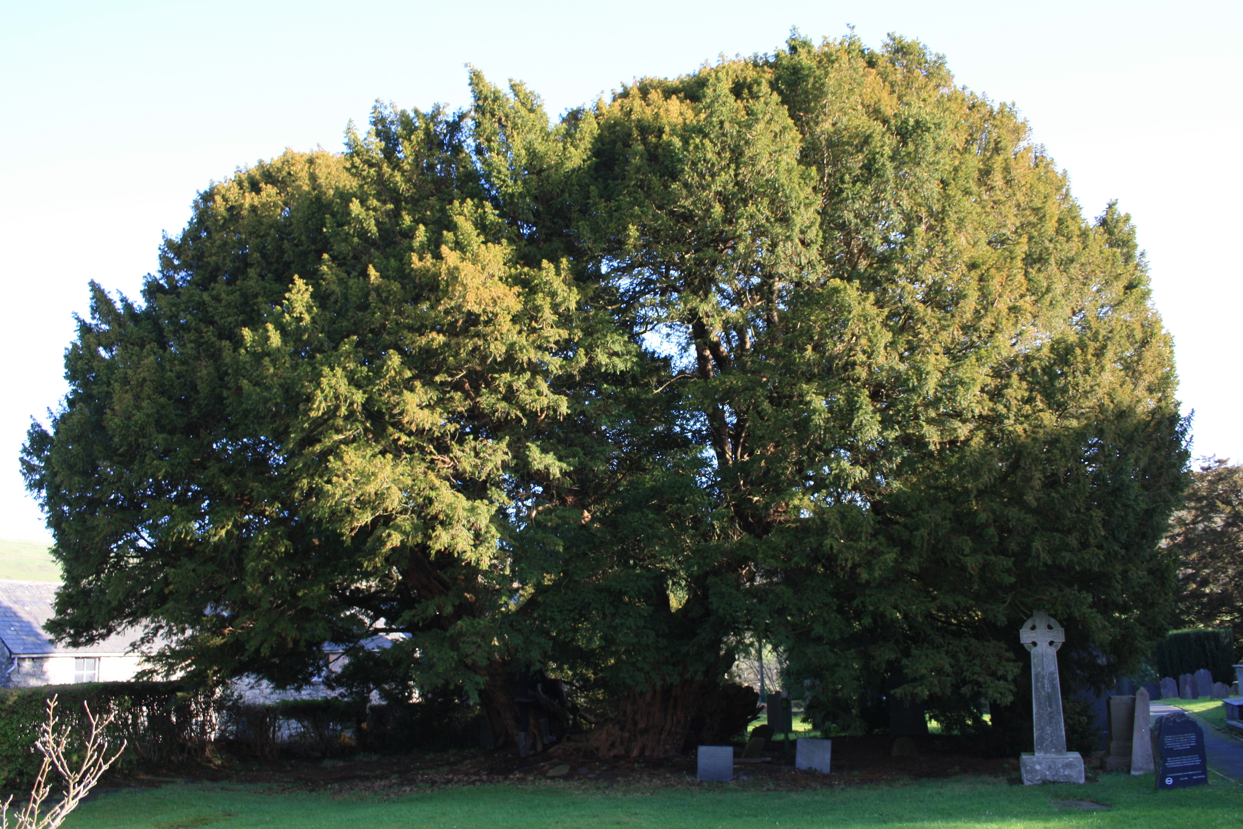 The Llangernyw Yew: one of the oldest life forms on our planet.