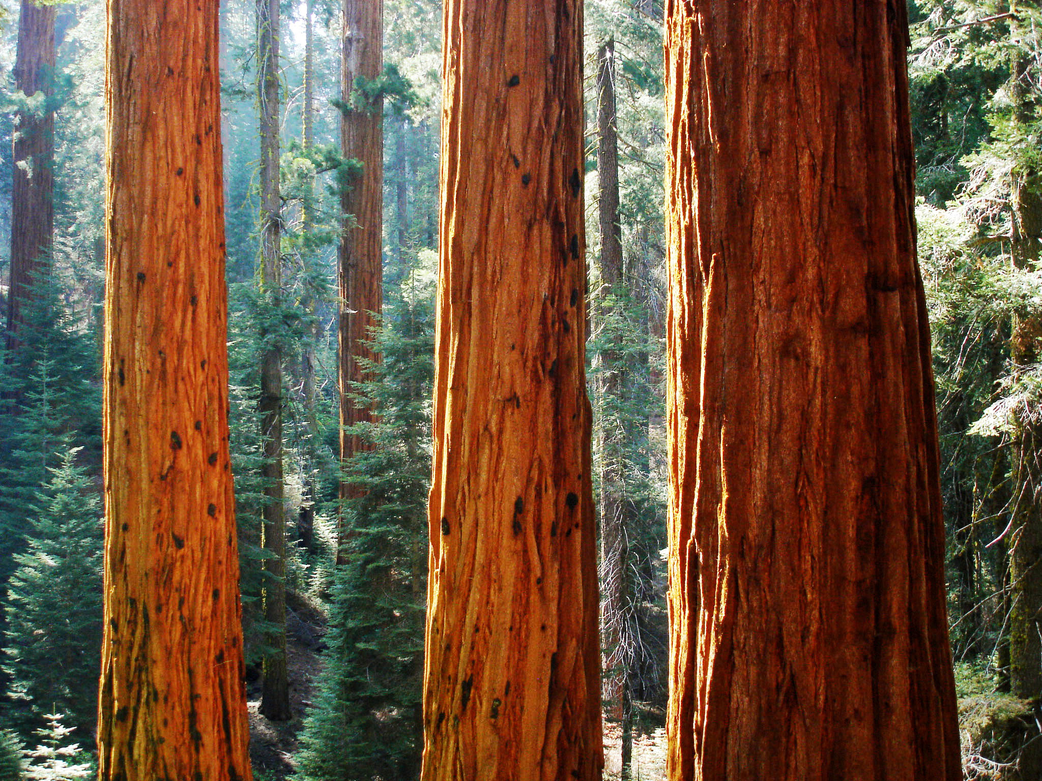 Giant_sequoia_in_Redwood_Canyon_in_Sequoia_National_Park.jpg