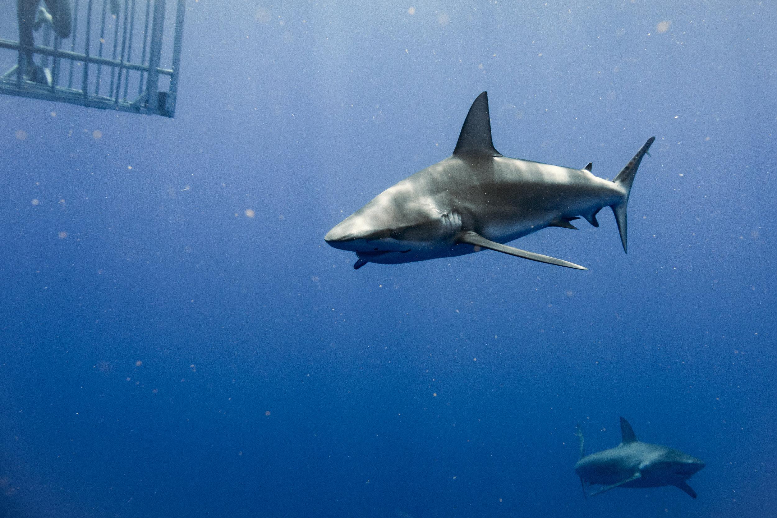 HAWAII SHARK ADVENTURES · HALEIWA, OAHU