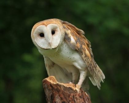 A BARN OWL is among a number of owls seen in the Ojai Valley area. (Liz Noffsinger/FreeDigitalPhotos.net)