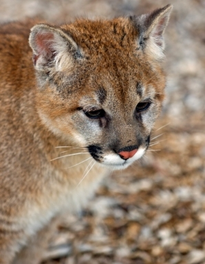 MOUNTAIN LIONS, also known as California Cougars, make the mountains in Southern California home. (Photo: (c) Geoffrey Kuchera, Dreamstime.com. Used with permission.)