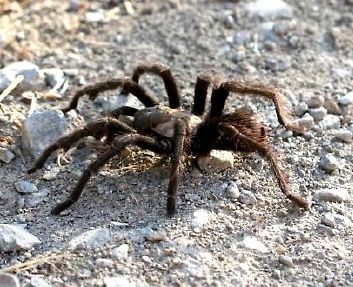 TARANTULAS MIGRATE on a route that passes through Meher Mount across the Visitor Center patio. (Ray Johnston photo.)