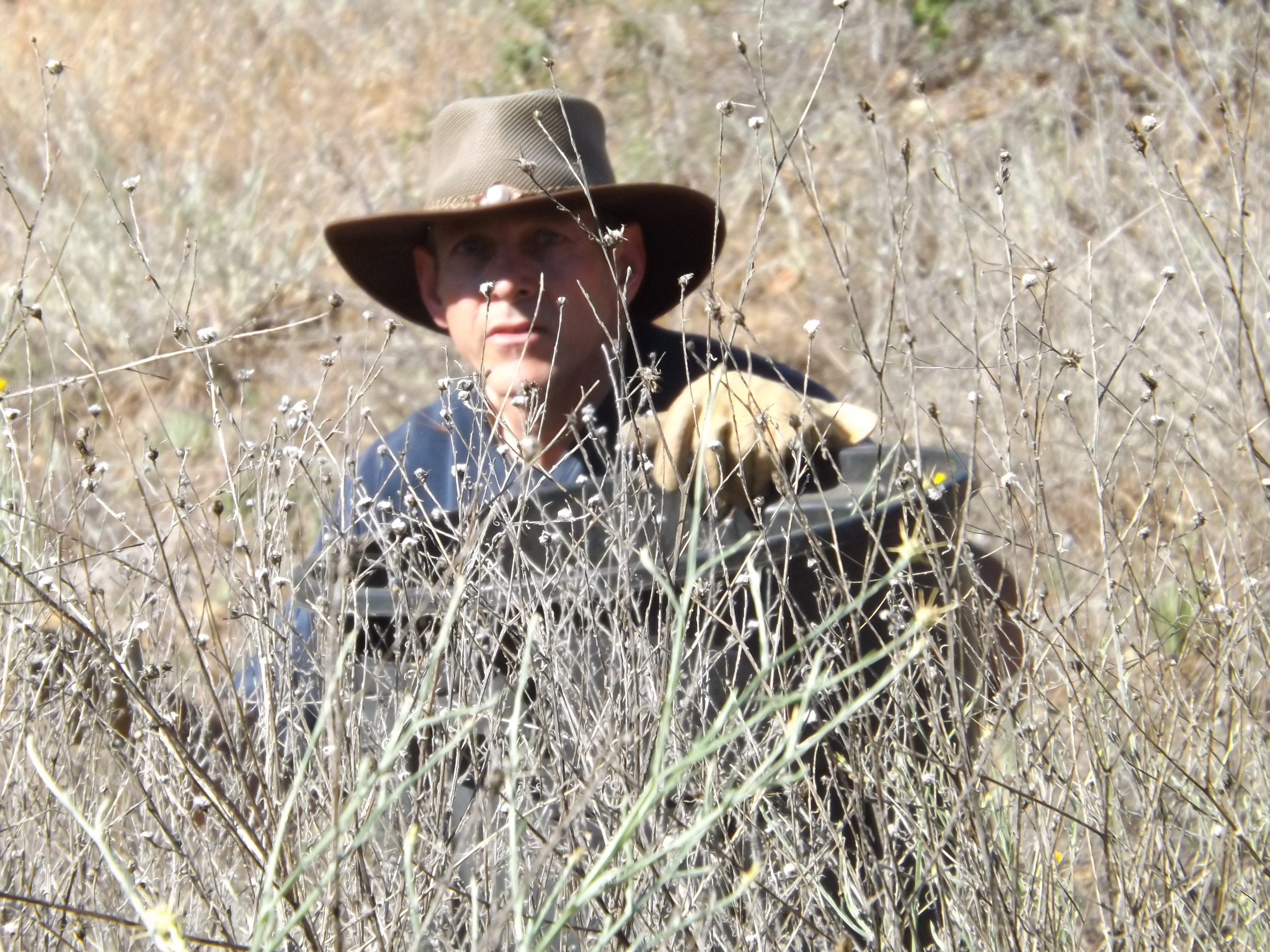 DUSTTIN PAREN arrived early and tackled the Yellow Starthistle removal with gusto. (Photo: Leslie Bridger, 2012)