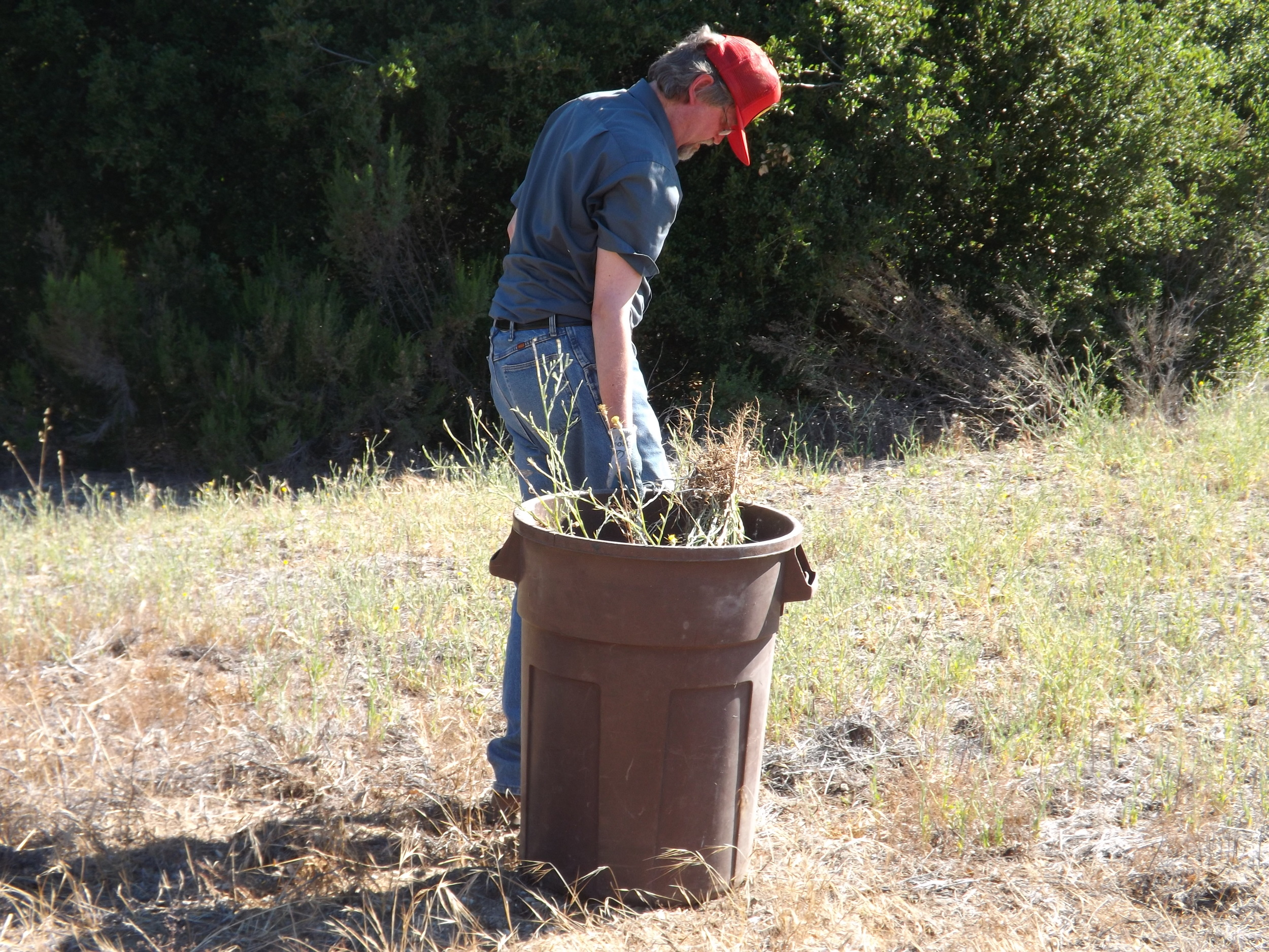 ERIC TURK has filled another barrel with Yellow Starthistle plants he removed from along the Well Road. (Photo: Leslie Bridger, 2012)