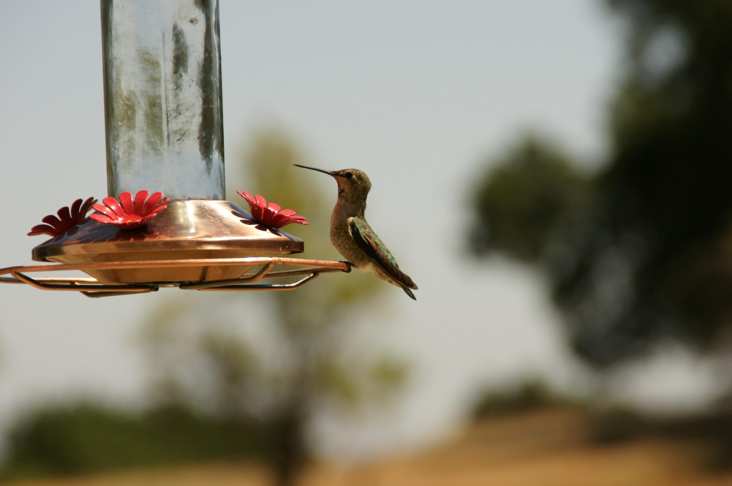 HUMMINGBIRD FEEDERS at Meher Mount. (Photo: Nancy Pinckert, 2012)