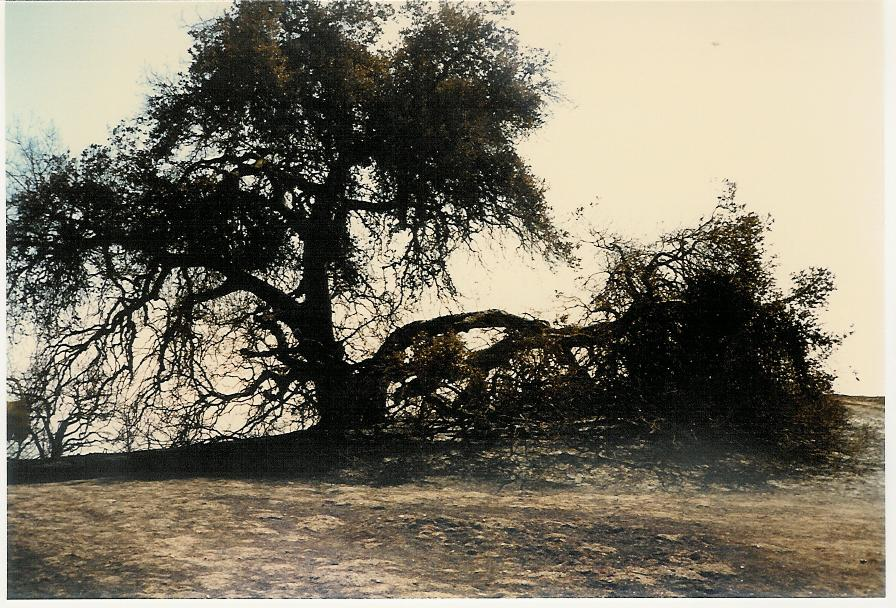 BABA'S TREE at Meher Mount is black and scarred after the New Life Fire on October 14, 1985. (Photo: Sam Ervin, 1985)
