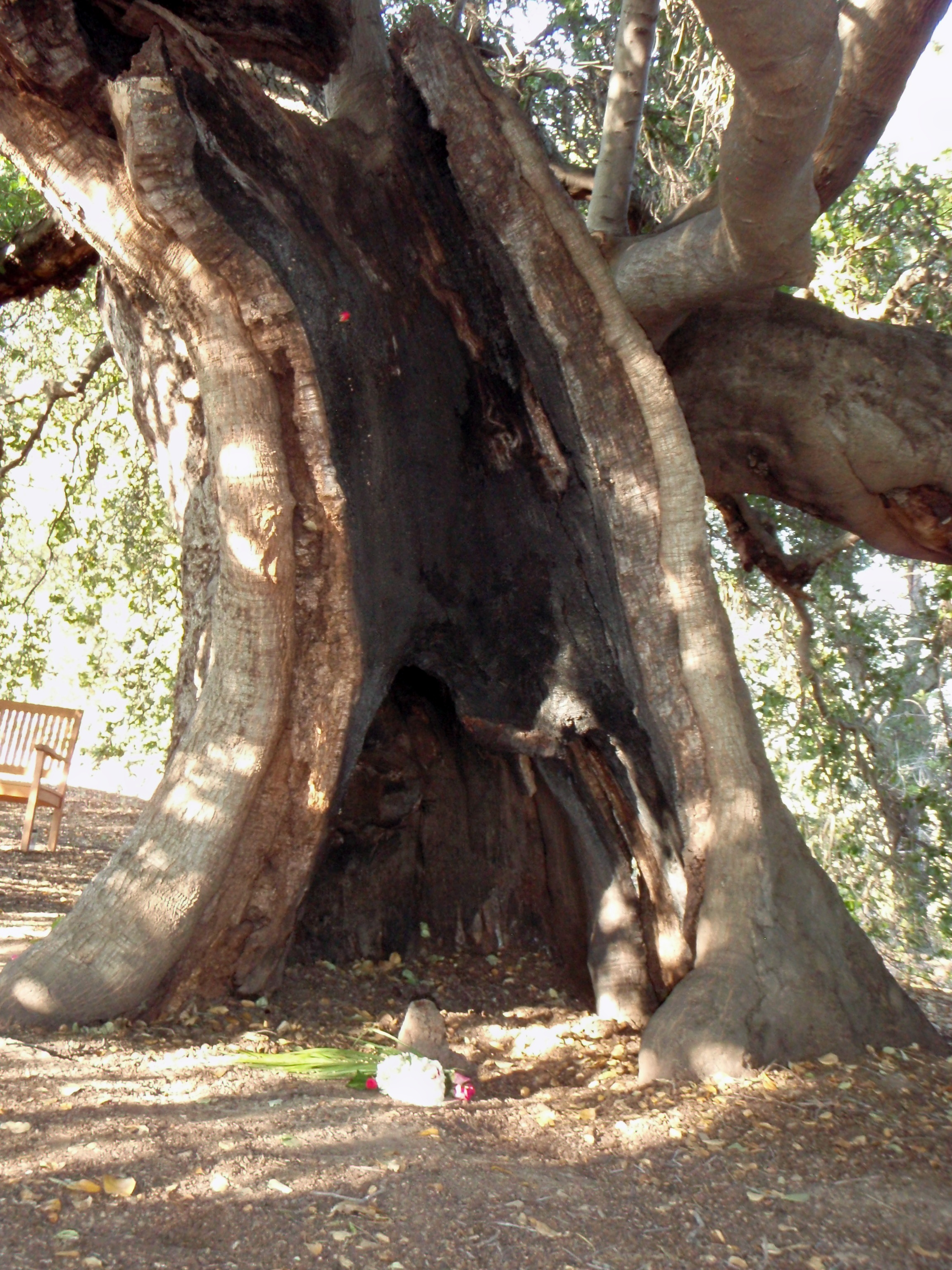 ALMOST 27 YEARS after the 1985 New Life Fire, the burned hollow of Baba's Tree trunk remained. It continued to support growing limbs and branches along with new foliage. (Photo: Sam Ervin, 2012)