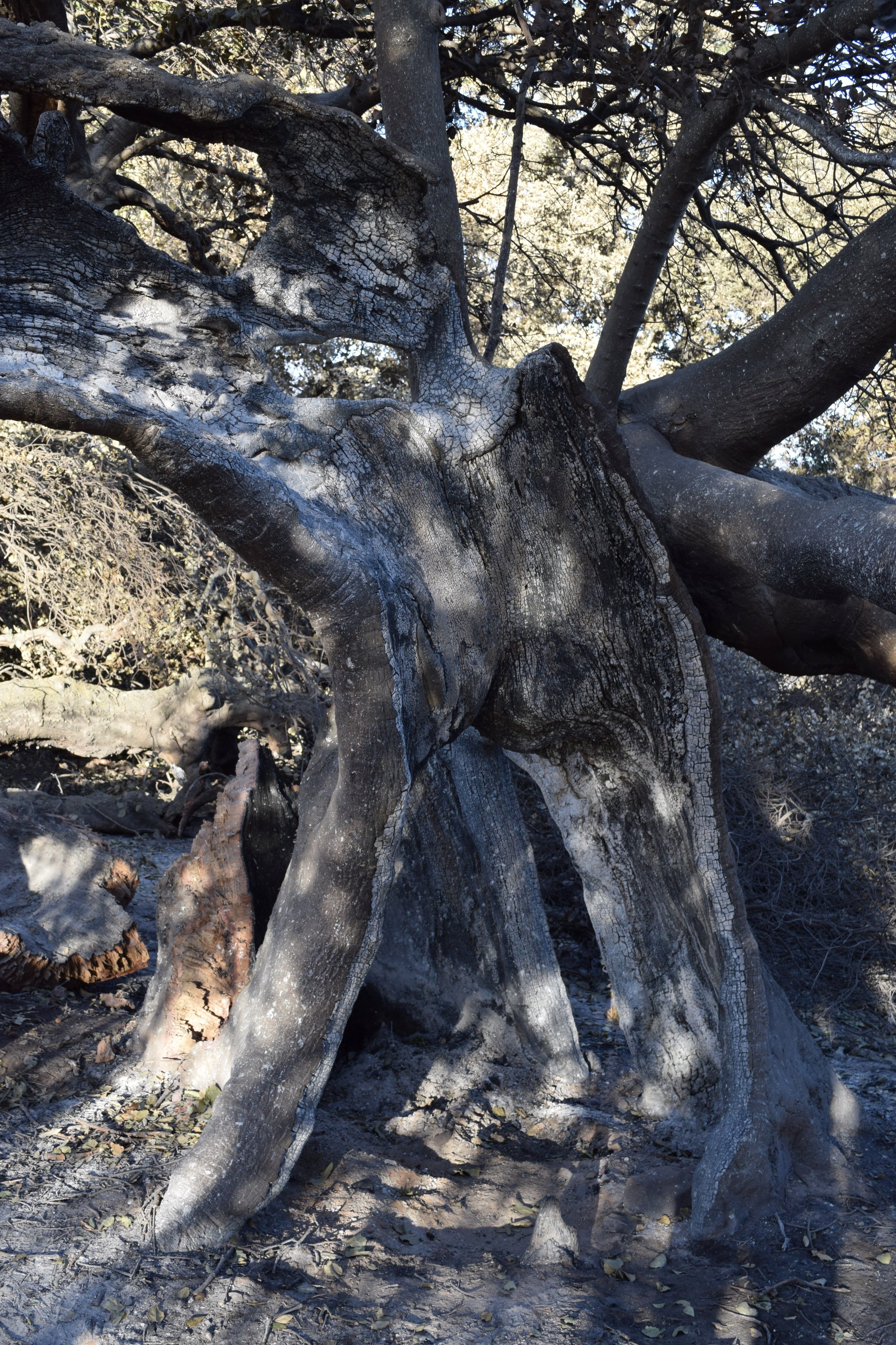 BABA'S TREE after the 2017 Thomas Fire struck Meher Mount. There are broken and detached limbs, but part of the main trunk, that was badly burned in 1985, is still standing. (Photo: Eric Turk, December 2017)