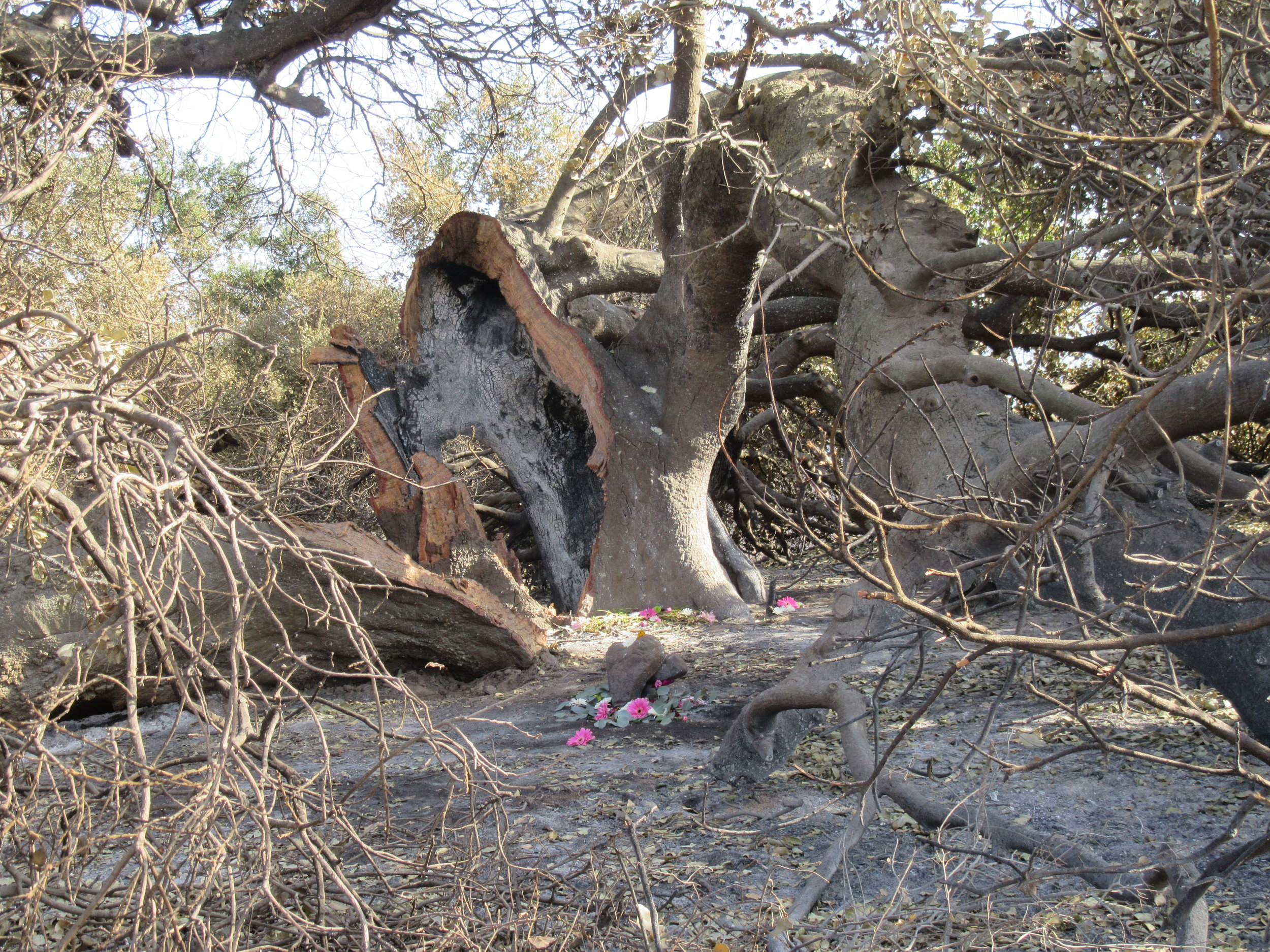 BABA'S TREE shown 30 days after the 2017 Thomas Fire with flowers marking the approximate spot where Meher Baba sat in 1956.(Photo: Sam Ervin, January 5, 2018)