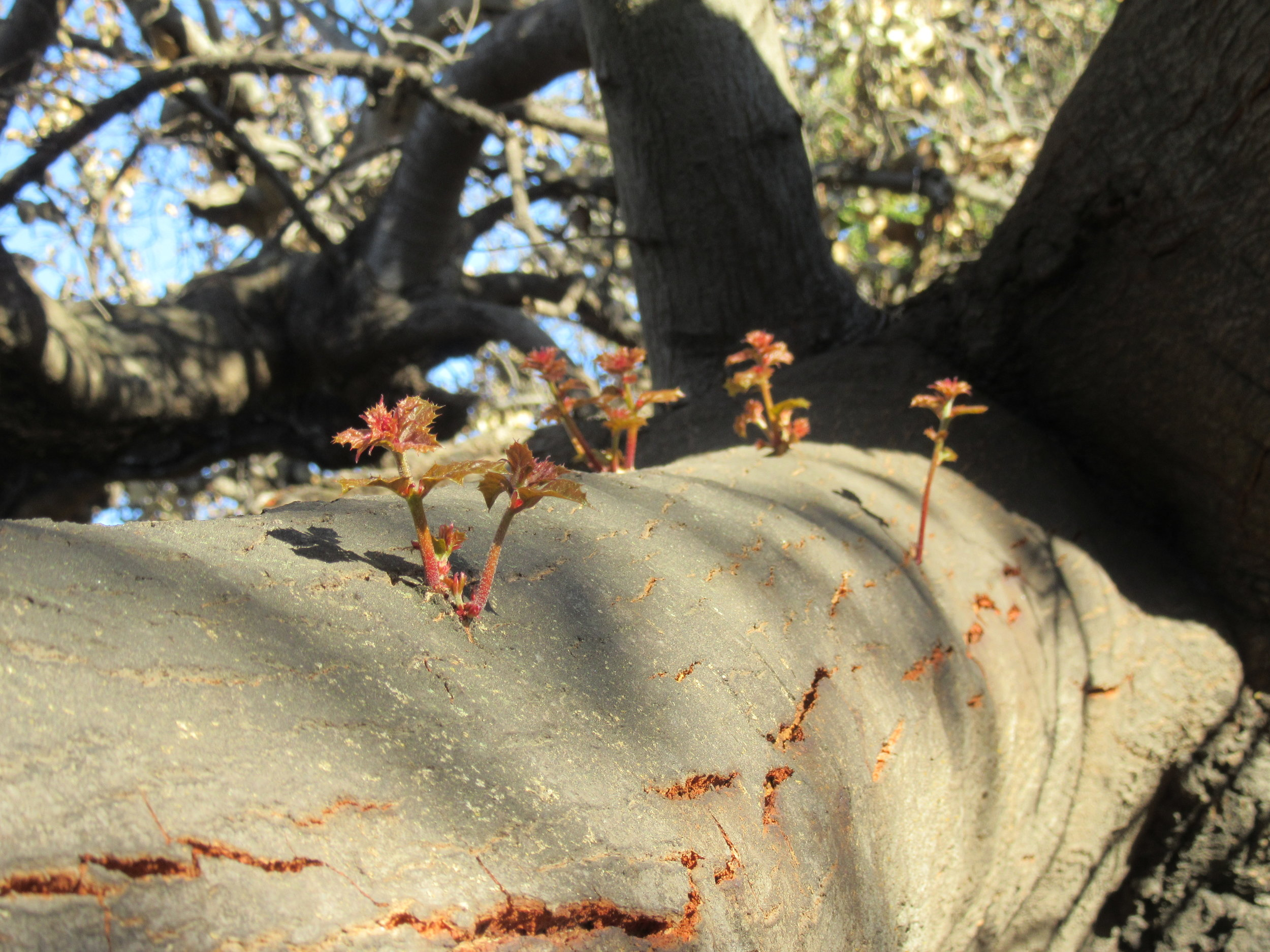 NEW GROWTH on one of the limbs of Baba's Tree just two months after the December 2017 Thomas Fire. (Photo: Sam Ervin, February 5, 2018)