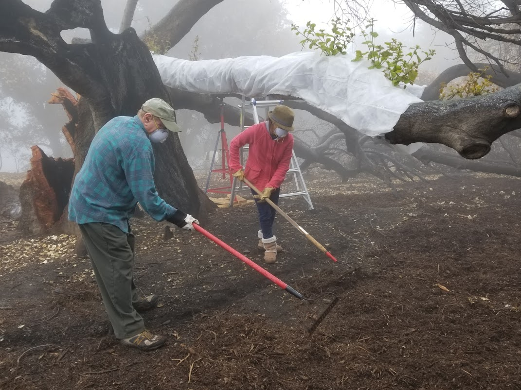 JIM WHITSON AND OANH HURLEY smoothing out the mulch under Baba's Tree at Meher Mount. The white material wrapped around the limb of Baba's Tree is for sunburn protection while the protective canopy grows back. (Photo: Margaret Magnus, March 10, 2018)