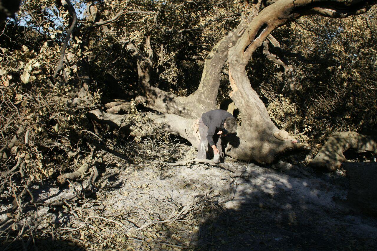 MARGARET MAGNUS collecting ash from Baba's Tree at Meher Mount. (Photo: Byron Pinckert, December 21, 2017.)