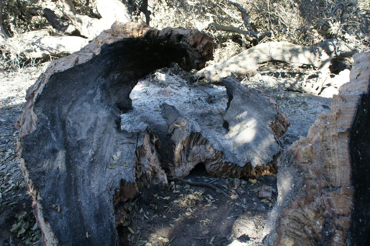 BURNED PORTIONS OF BABA'S TREE after the December 4, 2017 Thomas Fire struck Meher Mount. (Photo: Byron Pinckert, December 21, 2017)