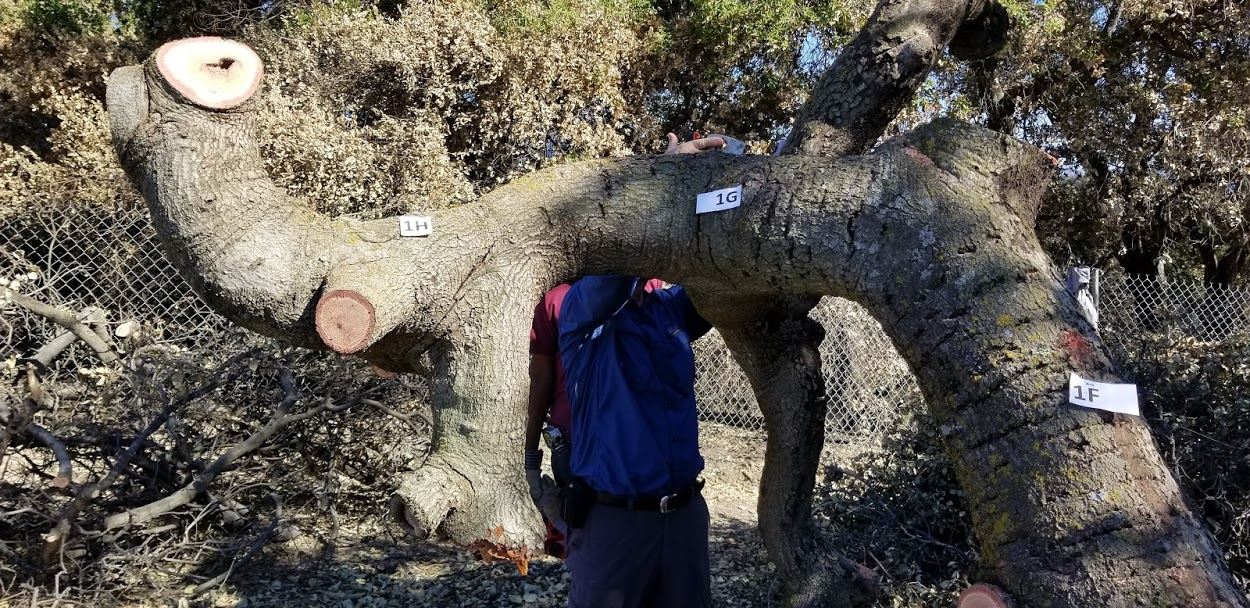 TAGGING A SECTION OF BABA'S TREE before cutting the limbs and milling each section into planks was a part of the process. Sam Ervin is in the blue shirt assisting Harold Greene, who is standing behind him in the bright pink shirt. (Photo: Margaret Magnus, February 5, 2018)