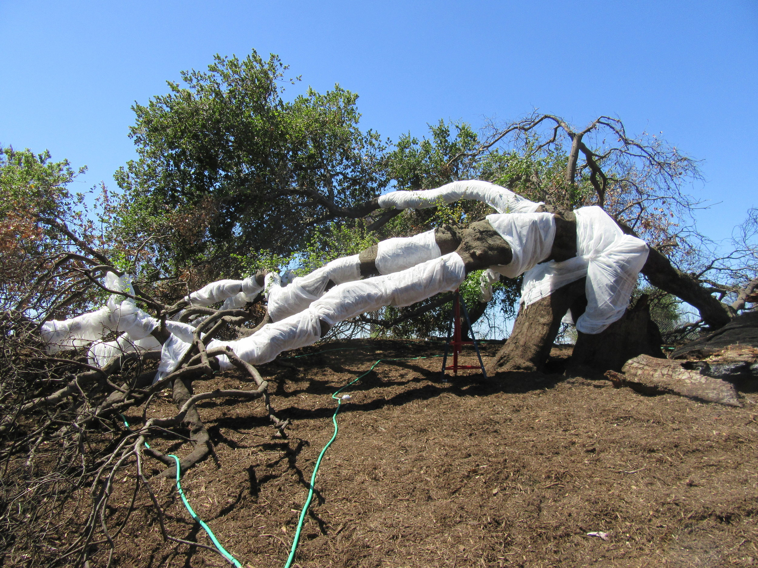 BABA'S TREE at Meher Mount wrapped for sunburn protection, a limb propped for support, and hoses with soaking nozzles - all in support of the recovery of Baba's Tree following the December 2017 Thomas Fire. (Photo: Margaret Magnus, April 22, 2018)