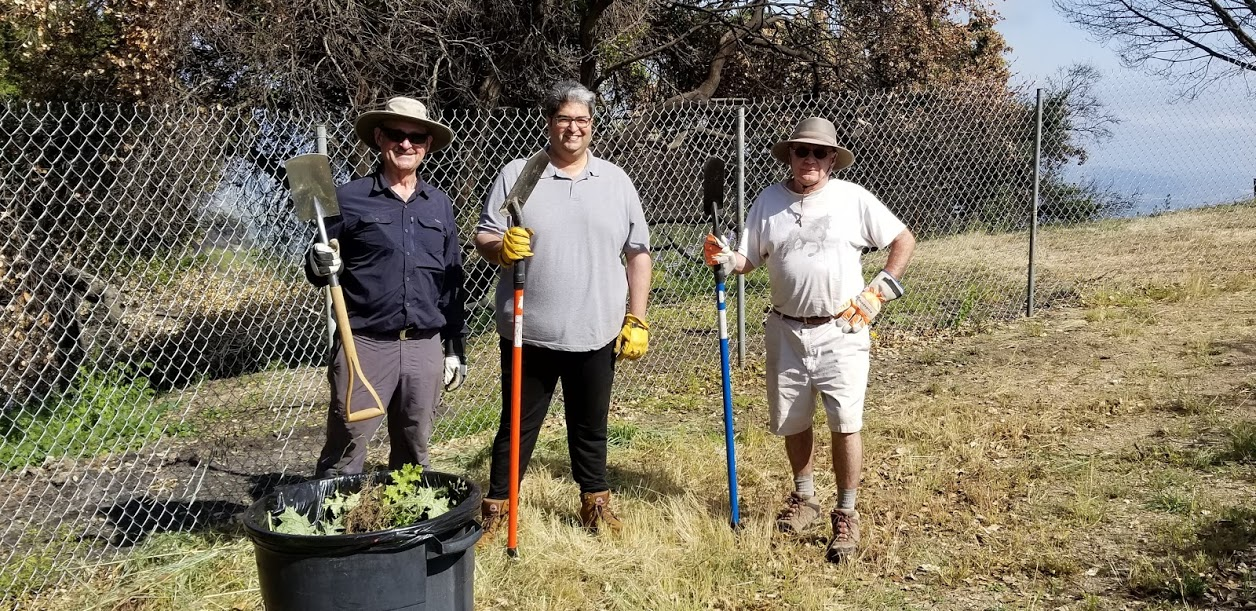 SAM ERVIN, HOMAYAR GANDHI & JIM WHITSON clear Spanish or golden thistle ( Scolymus hispanicus ) from around Baba's Tree. (Photo: Margaret Magnus, May 19, 2018)