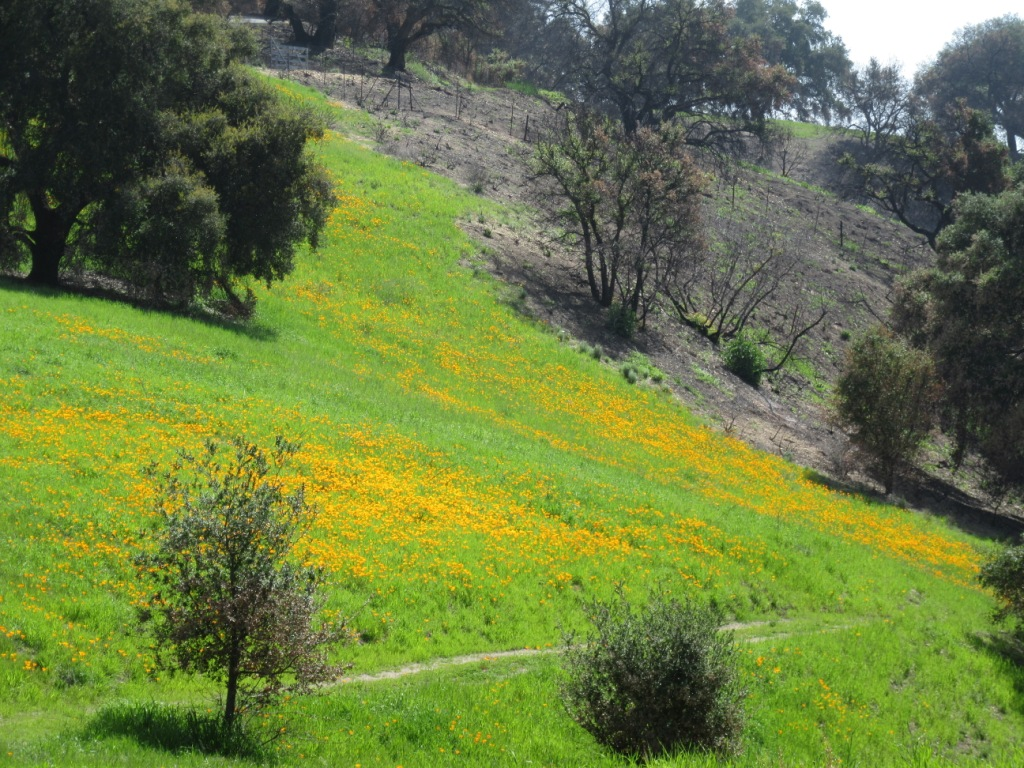CALIFORNIA POPPIES return to Meher Mount along with lupine and other flowers after the December 2017 Thomas Fire. There is still charred ground in the background where the area is not as lush - but showing signs of new life. (Photo: Sam Ervin, April 6, 2018)
