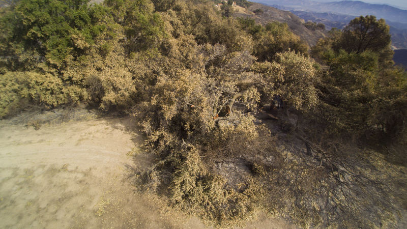 BABA'S TREE at Meher Mount is burned and toppled in the December 2017 Thomas Fire. (Drone Photo: Russell Latimer, January 4, 2018)