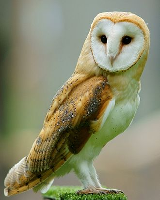 THE BARN OWL ( Tyto alba ) is the most widely distributed species of owl. (Source:  Wikipedia )