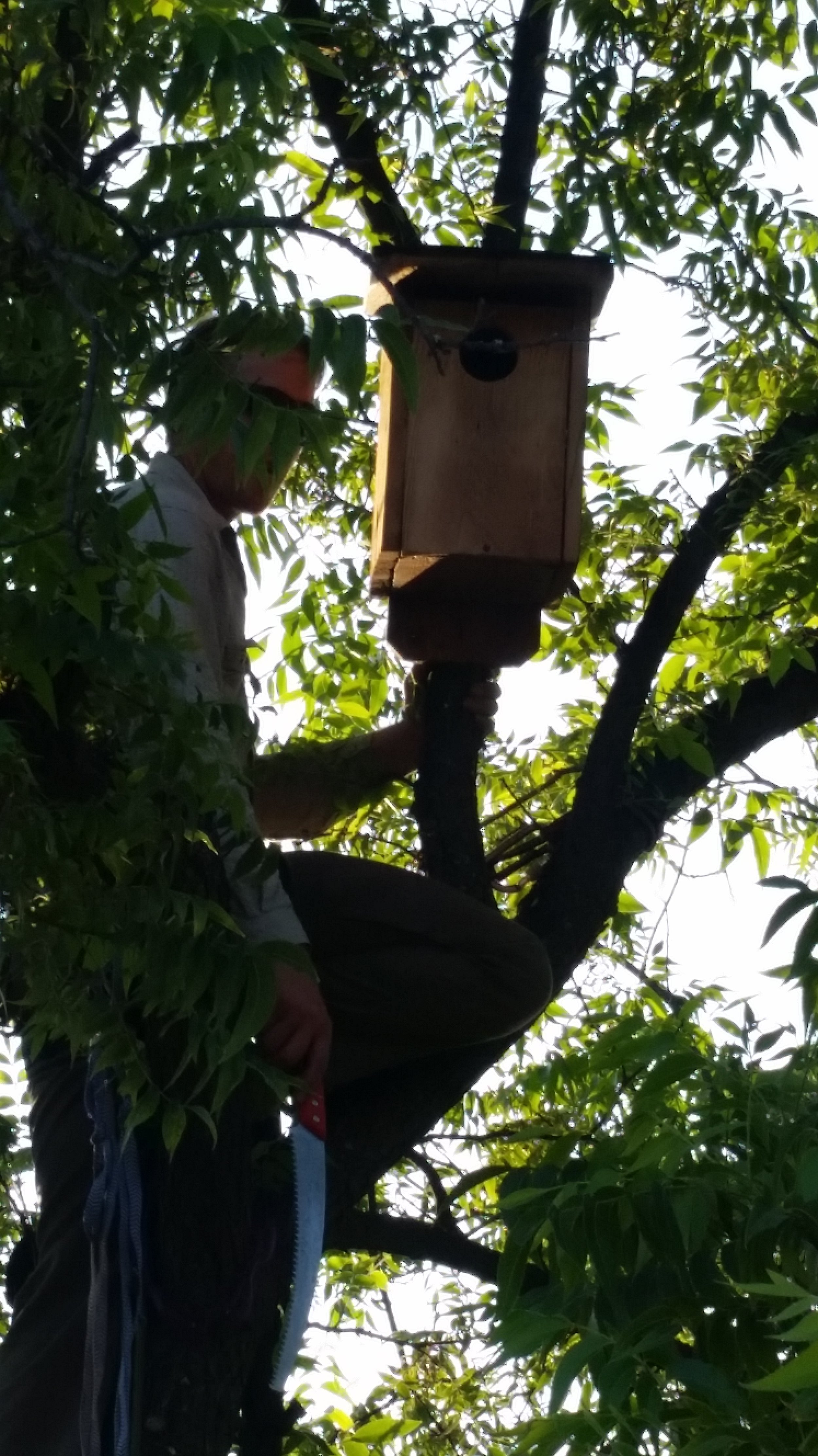 KEVIN McCLOUD from the Ojai Raptor Center installs an American Kestrel ( Falco sparvaerius ) box in the walnut tree near Baba's Path at Meher Mount. (Photo: Lynn Barnes, July 27, 2018)