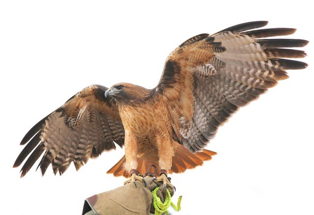 ROSIE the Red-tailed Hawk will make a special guest appearance at Meher Mount for the Family Bird Day on Saturday, April 6, 2019, courtesy of the Ojai Raptor Center. (Photo:  Ojai Raptor Center )